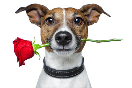 Dog with Rose (picture_fotolia)